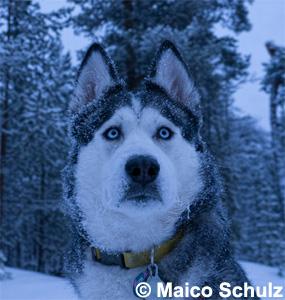 Husky blau