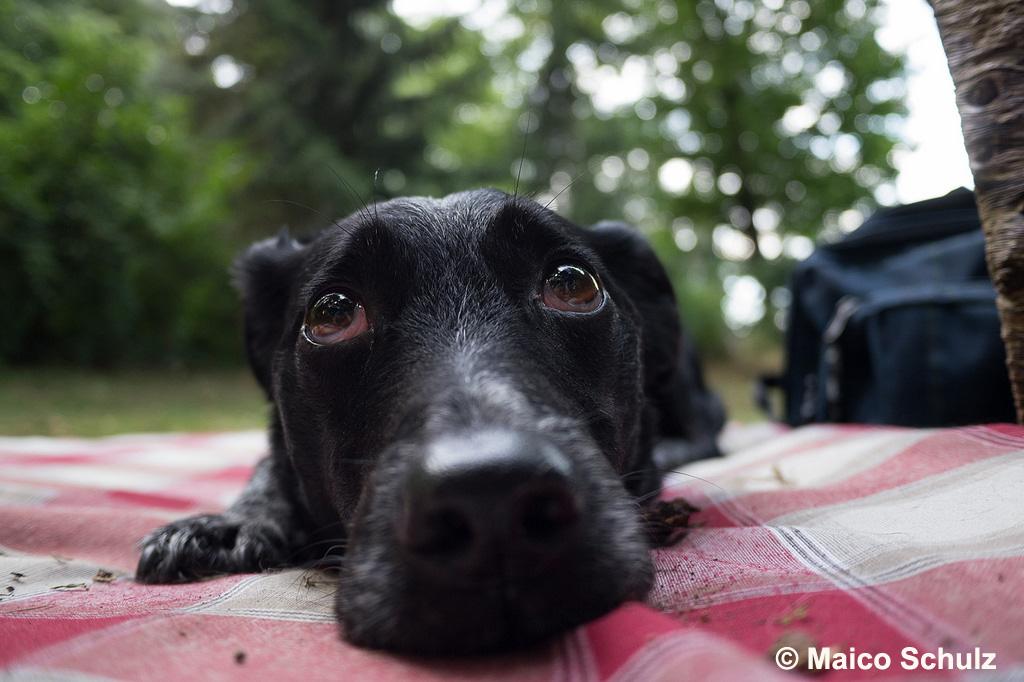 Sektenhund