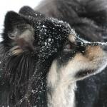 Ulihund mit Schnee im Gesicht