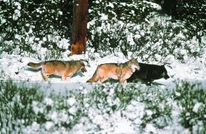 Wolf_3er_Gruppe