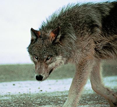 kojote karl heinz