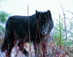 Wolf_schwarz_02