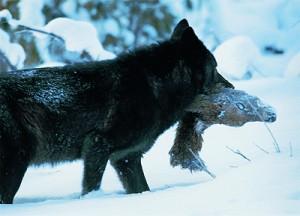 Wolf_schwarz_Beute