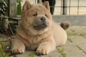 Wolf-Chow