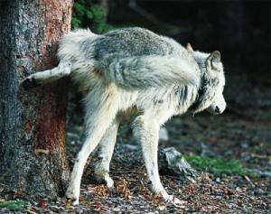 Wolf_pinkelt