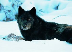 Wolf_schwarz_Beute_02