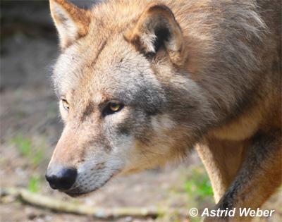 Asti_Wolf guckt nach links_02