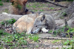 Asti_Wolf_liegt_01