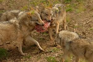 Uli_Wolf_4_Futter