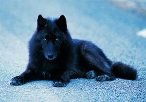 Wolf_schwarz_01